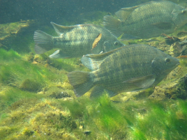 Invasive freshwater fish in florida for Florida freshwater fish pictures
