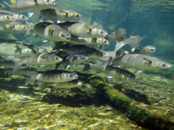 Marine fish visitors to florida 39 a freshwater springs for Florida freshwater fish pictures